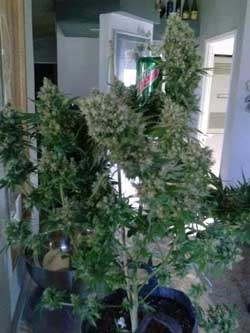Here's a picture of that cola on the live marijuana plant, just before harvest