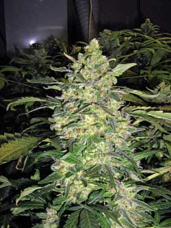 Grow huge colas that smell amazing by starting out with the best cannabis nutrients!
