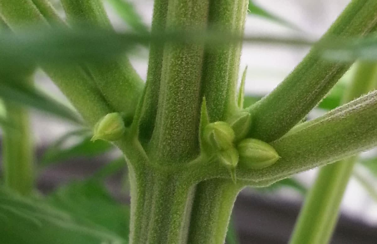 What to Expect During the Cannabis Flowering Stage | Grow