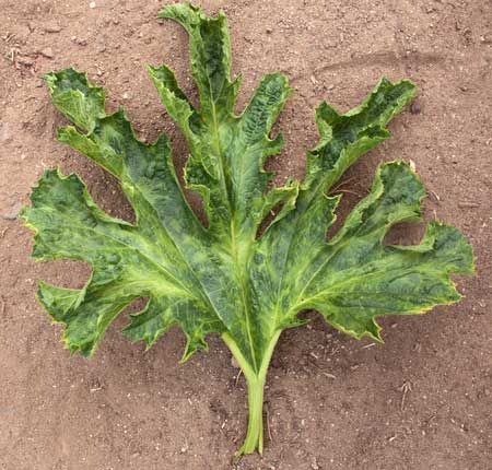 A squash plant that is infected with mosaic virus