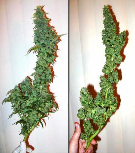 Trimming off sugar leaves - before and after