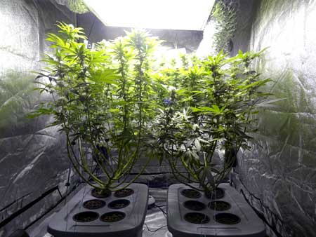 At week 7 of the marijuana flowering stage, your cannabis plants should still be mostly green and healthy, though it's normal to start losing a few leaves here and there, especially towards the bottom of the plant