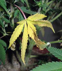 It's normal to see a few yellow or discolored leaves, especially near the bottom of the plant