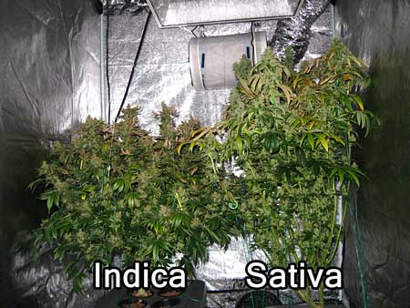 Example of an indica cannabis plant compared to a sativa cannabis during the flowering stage in a grow tent.