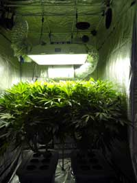 Medical marijuana plants growing inside a tent.