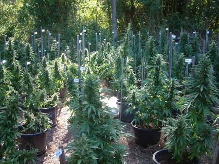 This medical marijuana cannabis crop is being used for cannabinoid research in Australia