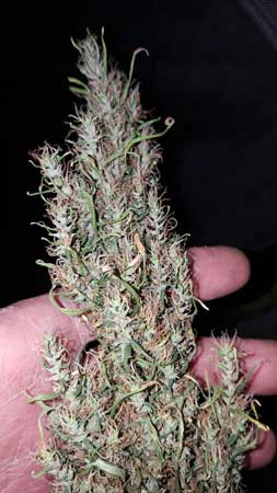 """Example of """"wild"""" or """"landrace"""" Sativa buds - they are loose and airy"""