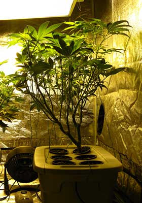 This sativa strain of cannabis tends to grow tall and stretchy.
