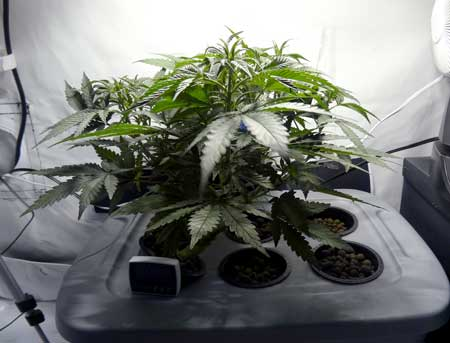 A healthy young indica cannabis plant growing short and bushy with big leaves
