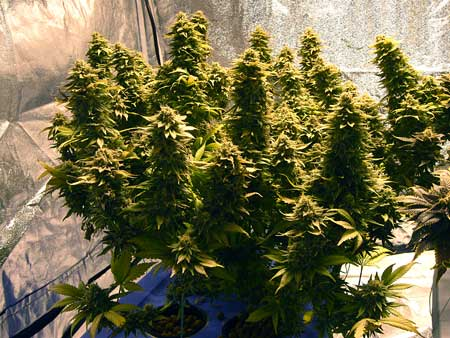 Aurora Indica cannabis plant is covered in buds!
