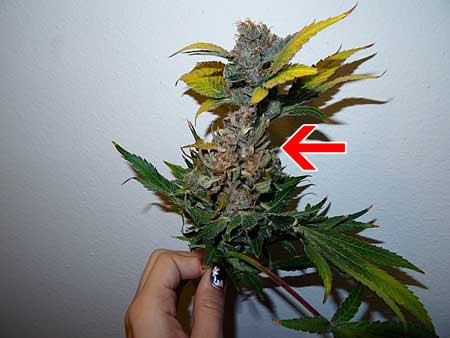 A cannabis bud with bud rot. It still looks mostly okay on the outside (except the leaves) but there's a nasty surprise inside