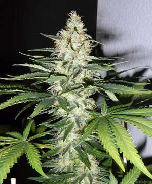 The Utopia Haze cannabis strain is a very high-yielding Sativa