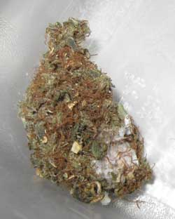 Marijuana buds that grew mold during the curing process - this makes your buds unusable and you should NOT smoke them