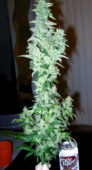 Original Sour Diesel marijuana cola