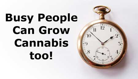 Busy people can still grow cannabis - learn these times for growers who are too busy to grow!