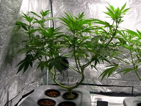 An example of a cannabis plant that has been trained to have a manifold