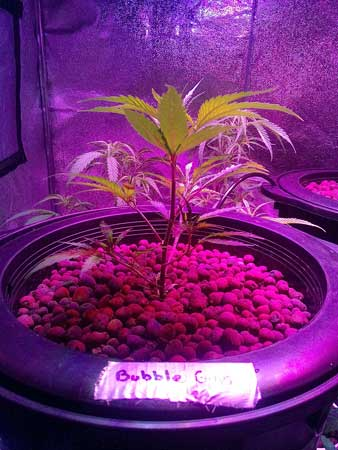 Bubble Gum marijuana plant under LED light