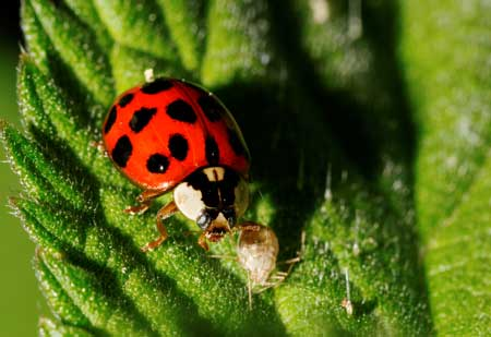 On this cannabis leaf, a hungry ladybug eats an aphid