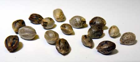 Closeup of a handful of cannabis seeds sitting on a table. You can see all the different ways seeds can look. Did you know the dark striped coating on the outside of many shells is actually a skin that can be rubbed off? Underneath seeds are actually kind of pale!