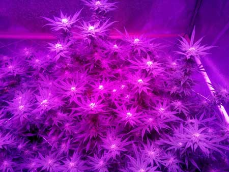 Cannabis plant in the flowering stage growing under the purple light of an LED grow light