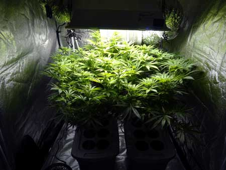 Marijuana plants growing under a 600W HPS in a grow tent
