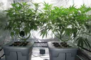Example of two happy cannabis plants growing in a hydroponic DWC reservoir with suitable hydroponic nutrients!