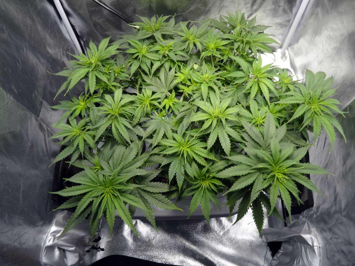 Cannabis grow strip before flowering