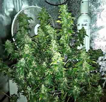 This Master Kush plant in a DWC setup helps show what you can accomplish as far as yields in a hydroponic setup with good nutrients!