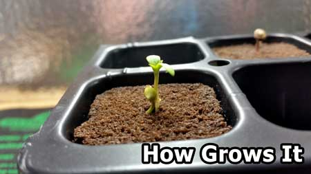 """Example of """"twin"""" cannabis plants (two seedlings from just one marijuana seed)"""