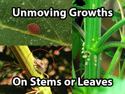 Barnacle scale insects look like unmoving growths on your cannabis stems and leaves