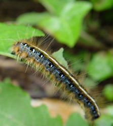 Caterpillars can be a cannabis grower's worst enemy!
