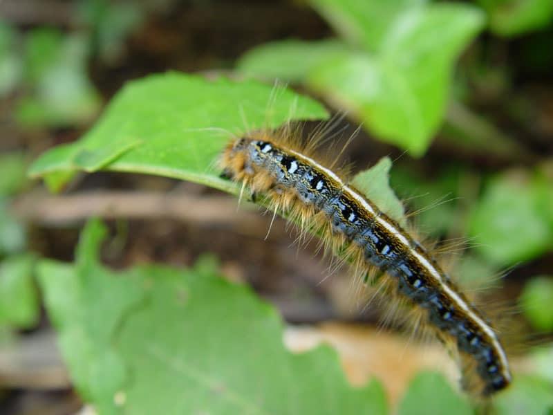 Outstanding Caterpillars Cannabis How To Identify Get Rid Of It Inzonedesignstudio Interior Chair Design Inzonedesignstudiocom