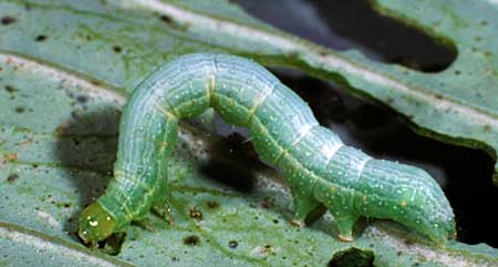 A closeup of a caterpillar