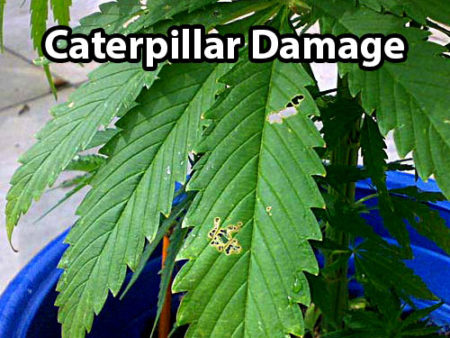 Caterpillars and inch worms can leave holes in your cannabis leaves