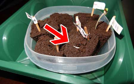Example of a cannabis seedling where the roots are growing straight up out of the Rapid Rooter