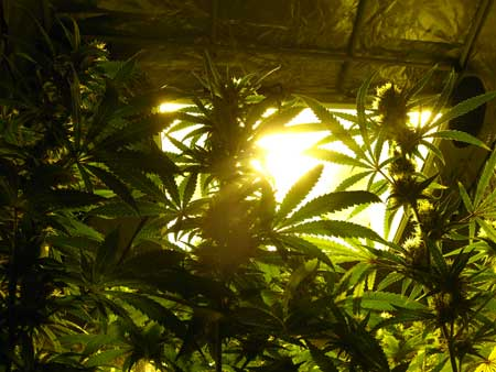 Look up at the HPS grow light and hood through the canopy