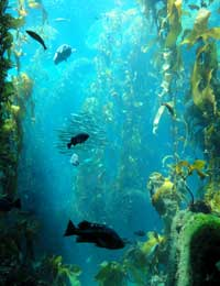 Example of a kelp forest - did you know that seaweed (kelp) can actually be used to help sooth stressed cannabis plants?
