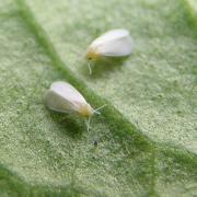 White flies /whiteflys are a surprisingly tenacious marijuana pest