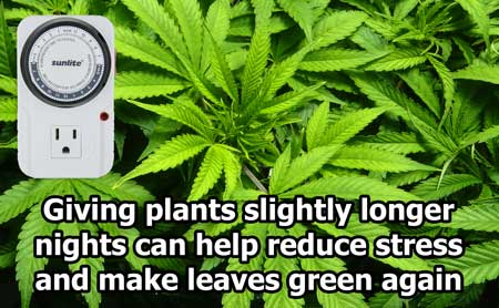Giving cannabis plants slightly longer night periods can help them recover more quickly from stress and get green and healthy again!