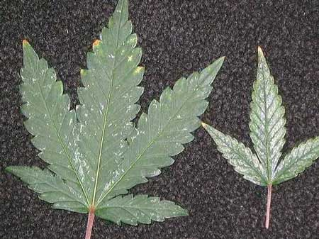 Marijuana thrips leaf damage - silver or bronze spots that can eventually take over the whole leaf!
