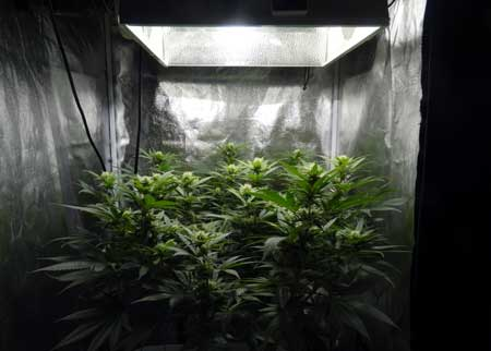 Raising up your grow lights is one way to help your cannabis plant recover from problems more quickly!