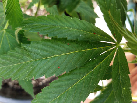 Example of red scale bugs living on a marijuana leaf