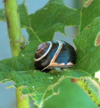 Snail damage on a cannabis leaf - the culprit is taking a nap at the scene of the crime!