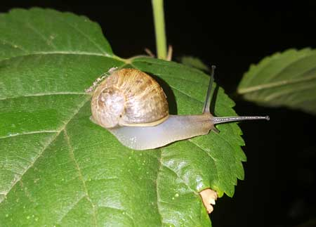 A snail on a cannabis plant - they may look harmless but they can mess up your plants!