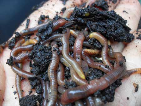 Example of worms squirming around in compost soil, in someone's hand. Although it looks a little gross, compost is great for your plants and you can capture some of that power with compost tea!