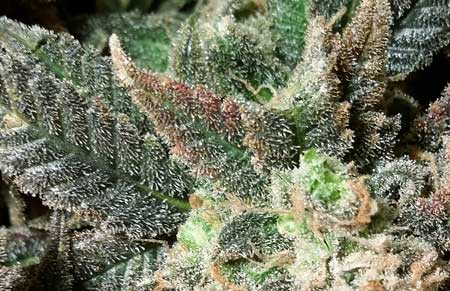 A closeup of trichomes on a cannabis plant - when deciding when to harvest, look at the trichomes on the buds, NOT the leaves