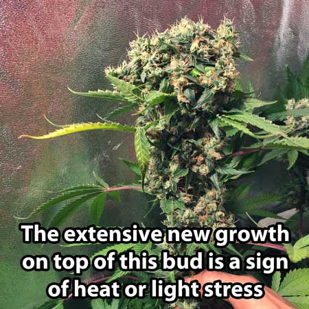 This bud has extensive new growth due to heat and light stress. When trying to figure out when to harvest a bud like this, look at the sides of the buds on older growth, not the newest stuff that has just appeared