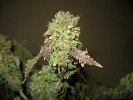 Harvest a marijuana plant if the buds are actually turning brown from being burnt by light or heat stress