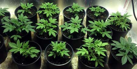 Example of a Sea of Green (SoG) marijuana setup - by growing many small plants, you can create an even canopy of buds without any plant training