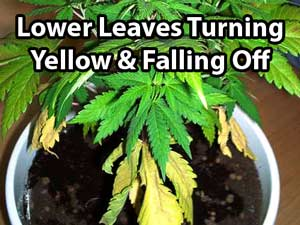 Cannabis nitrogen deficiency